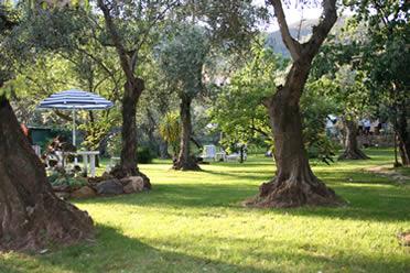 Vivaio di olivi vendita piante e fiori da giardino - Giardino con ulivi ...