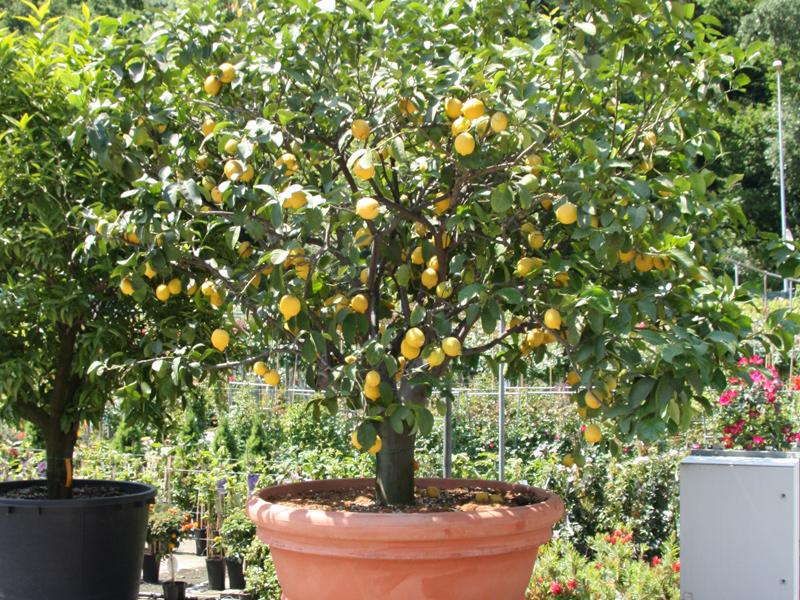 Piante e fiori da giardino piante grasse e vivaio di for Pianta limone 4 stagioni
